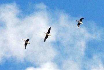 дикие гуси